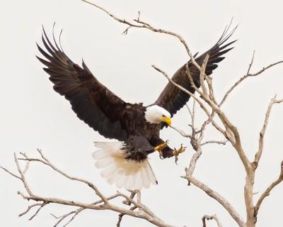 Amazing Grace of the Bald Eagle