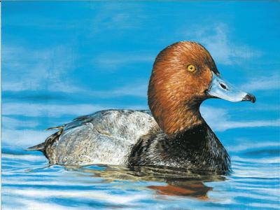 Duck Stamp Winner 2021