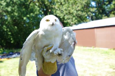 Snowy Owl Mr. Tundra