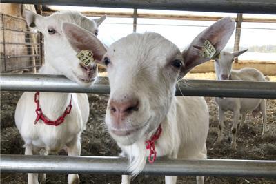 Dairy Goat Farming