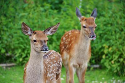 HAAP cancels deer hunts due to EHD
