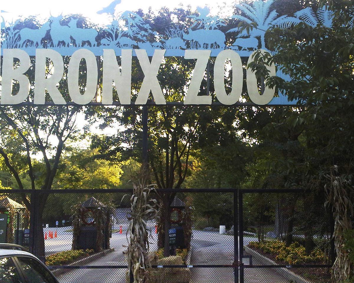 Tiger at Bronx Zoo tests positive for coronavirus