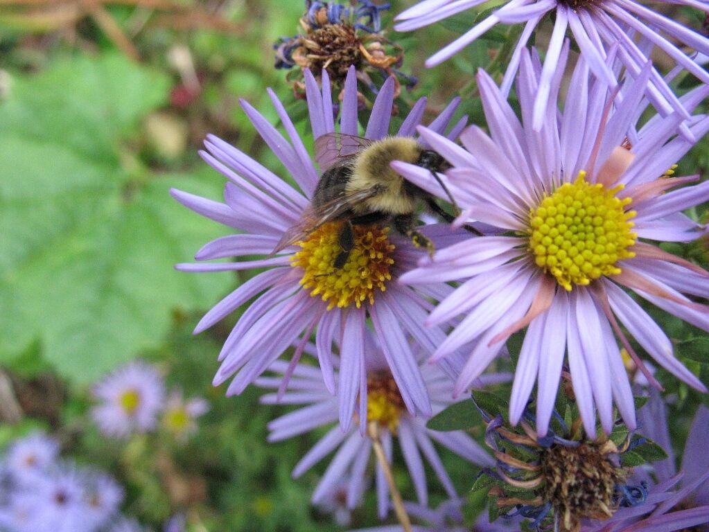 Aster Bumblebee