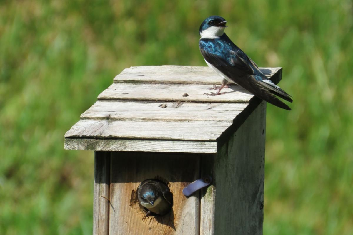 Bluebirds and swallows at Asbury Place