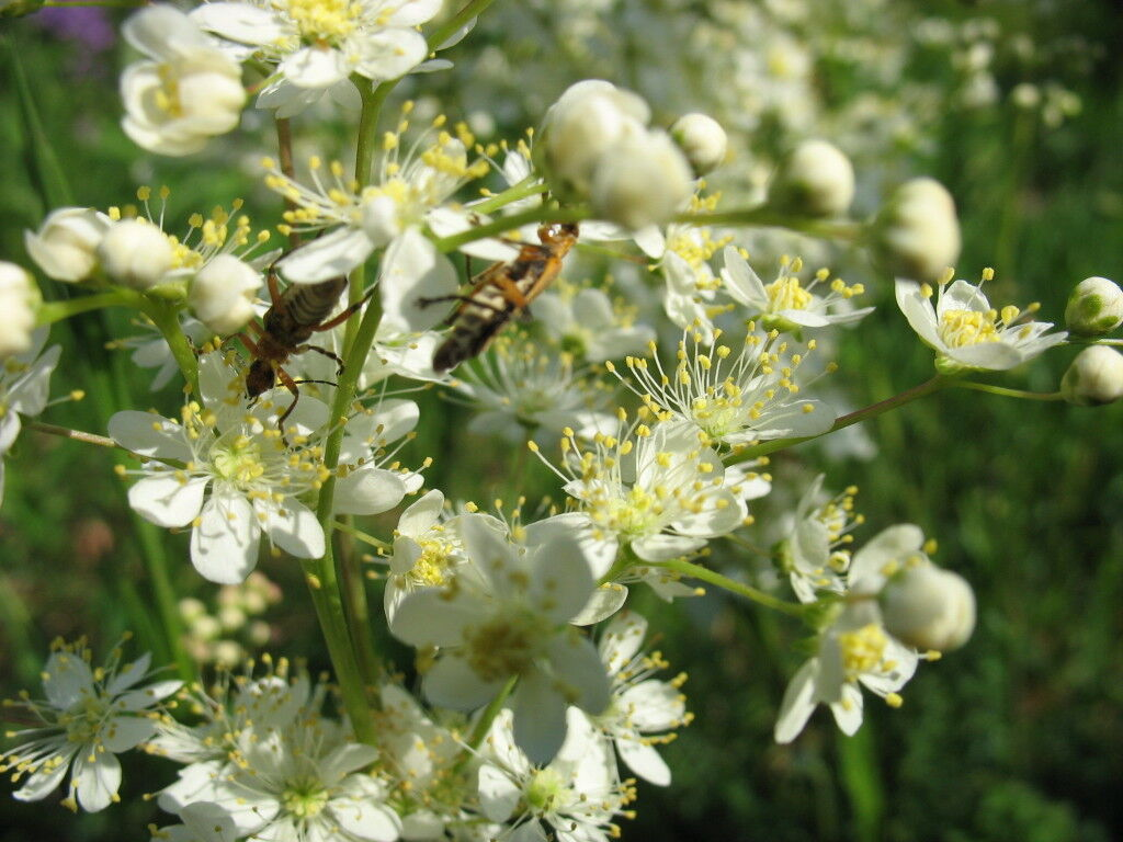 Meadowsweet insect