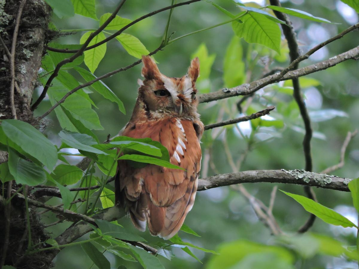 Shady Valley Screech Owl by Cade Campbell