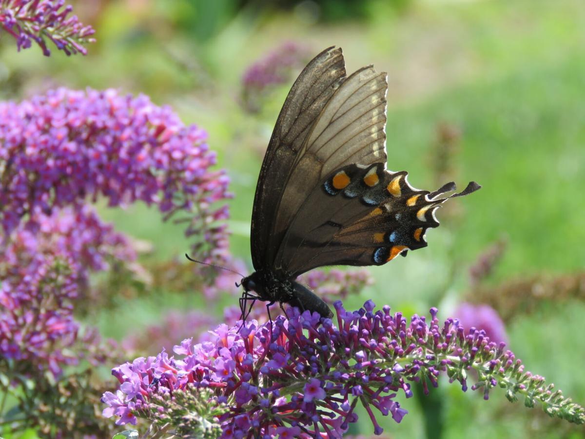 Butterfly bush at Asbury