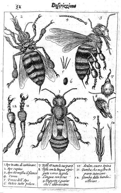 The drawings of a bee and its parts.