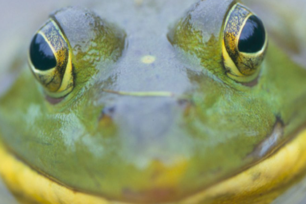 Frog Watch for Kids Presented By TRCA Parks