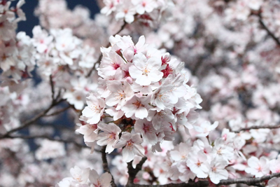 How To View The Cherry Blossoms At High Park In 2021