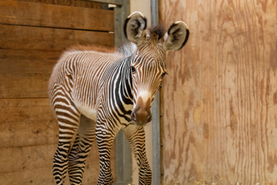 The Toronto Zoo Welcomes Birth of Endangered Grevy's Zebra Foal