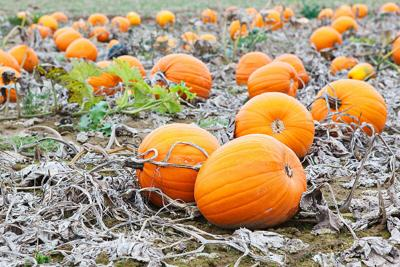 Pumpkin Patches in the GTA