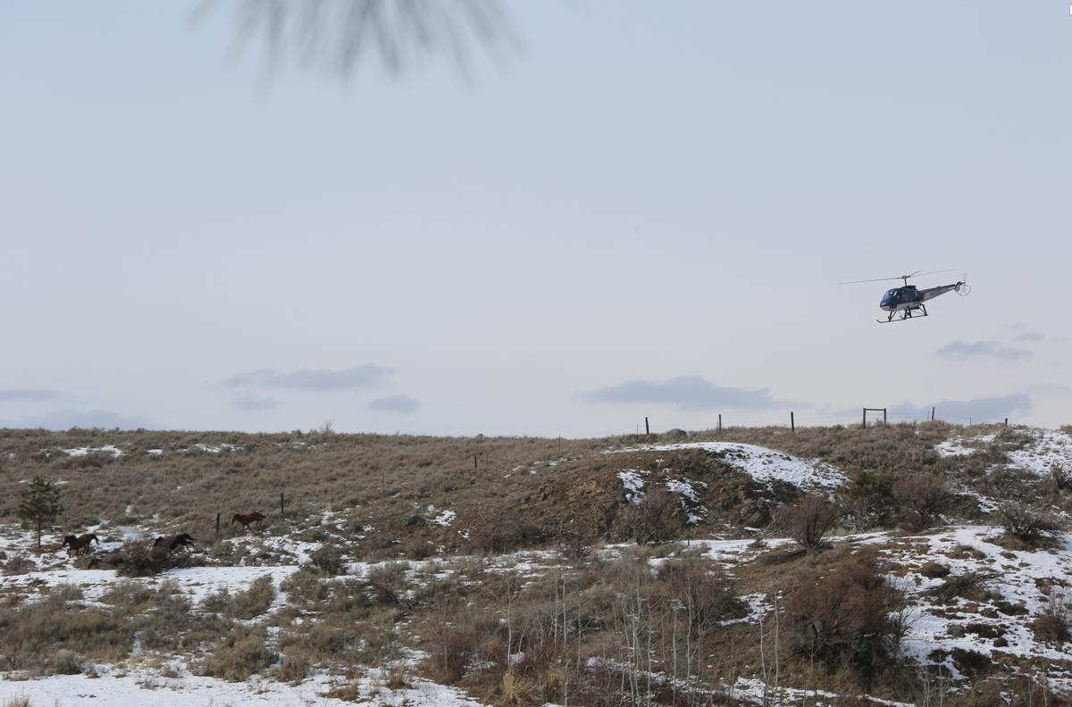 A helicopter herds a small group of horses near Nespelem's Buffalo Lake, Thursday.