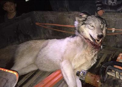 First wolf kill on Colville Reservation