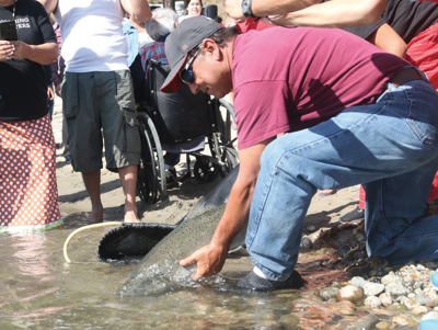 Colville elder Rick Desautel holds one of 30 summer Chinook salmon released at Kettle Falls, a traditional tribal fishery, Aug. 23.
