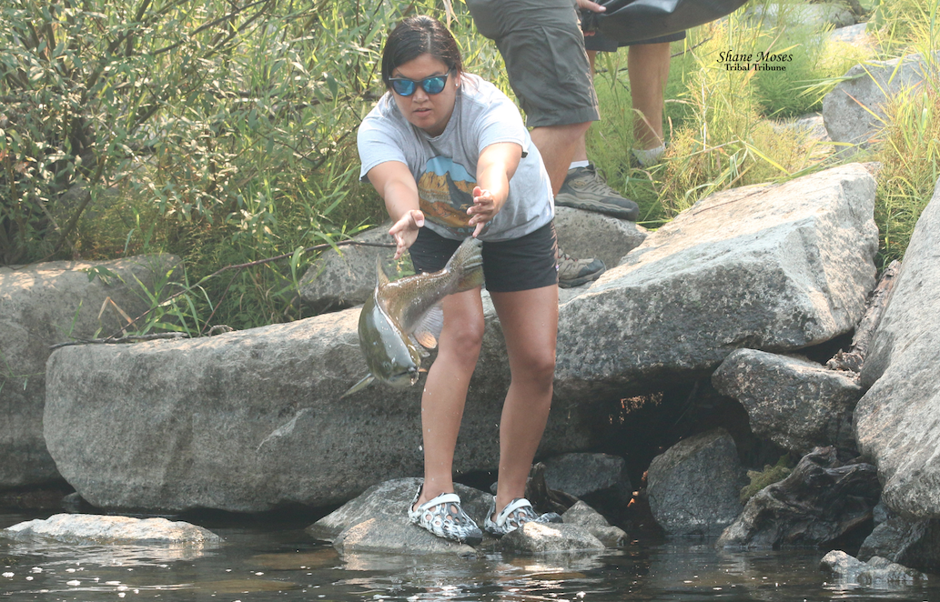 Colville Tribal member Kirsten Brudevold Fish Biologist for CTFW gets ready to release a Chinook Salmon into the Sanpoil River on Thursday (Aug. 12) morning about 20 miles north of Keller near Thirtymile road