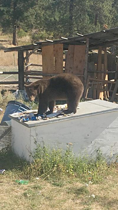 A problem bear in Keller stands over a torn bag of garbage.