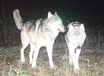 Two wolves from the Colville Reservation's Nc'icn wolf pack, photographed by a Colville Tribal Fish and Wildlife game camera in 2014.