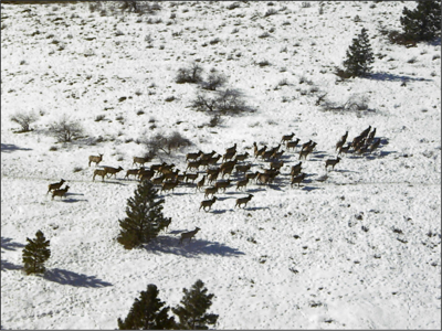 A herd of elk, photographed by Colville Confederated Tribes' Fish and Wildlife staff during the aerial big game count, rest in winter range. The count was held in February.