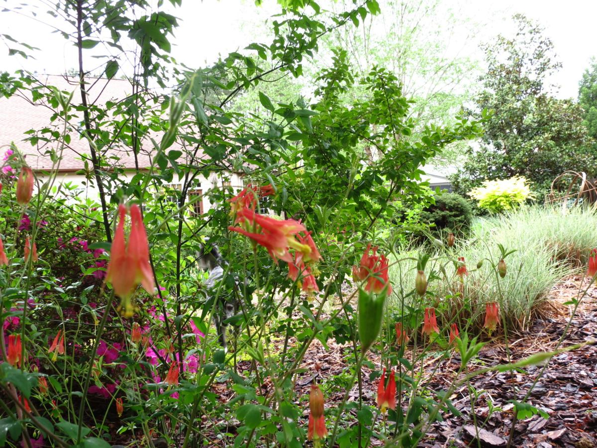 Gardening With The Masters Columbine Native Plant Versus Native
