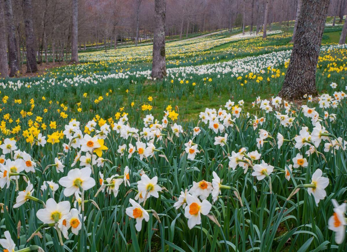 CHER_GIBBS GARDENS Daffodils March 23 A (2).jpg
