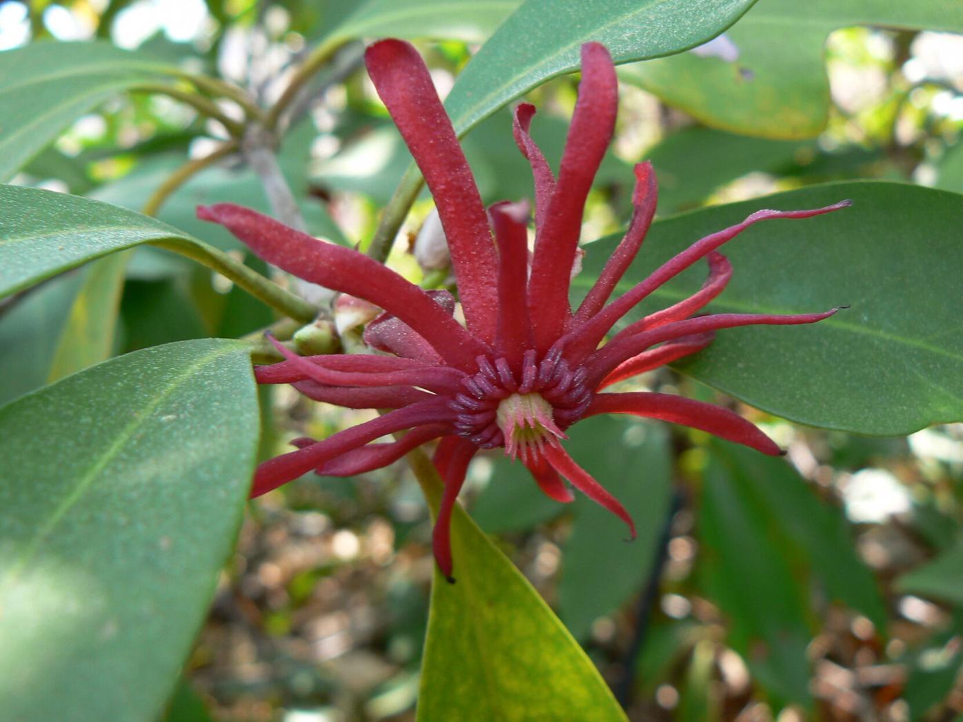 090921_CTN_Florida anise_bloom_Mary Tucker (1).JPG