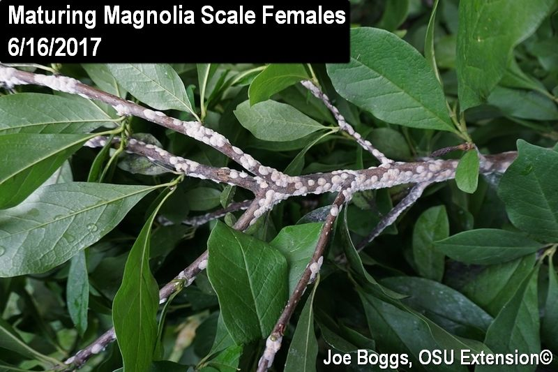 110719_CTN_Scale on Magnolia (Joe Boggs, OSU Extension).jpg