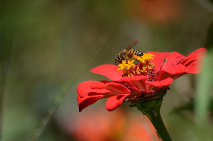 Bee on zinnia (Erin Burnett).jpg