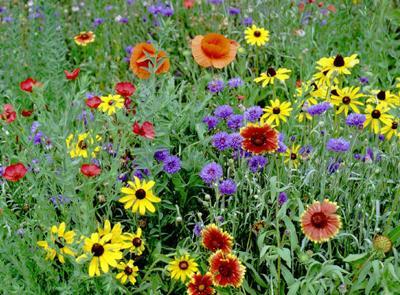 Wildflowers for pollinators (Rainbow Seeds).jpg
