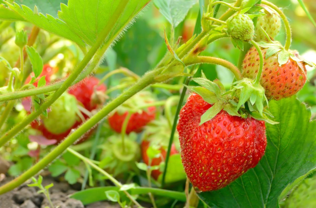 050720_CTN_Strawberries.jpg