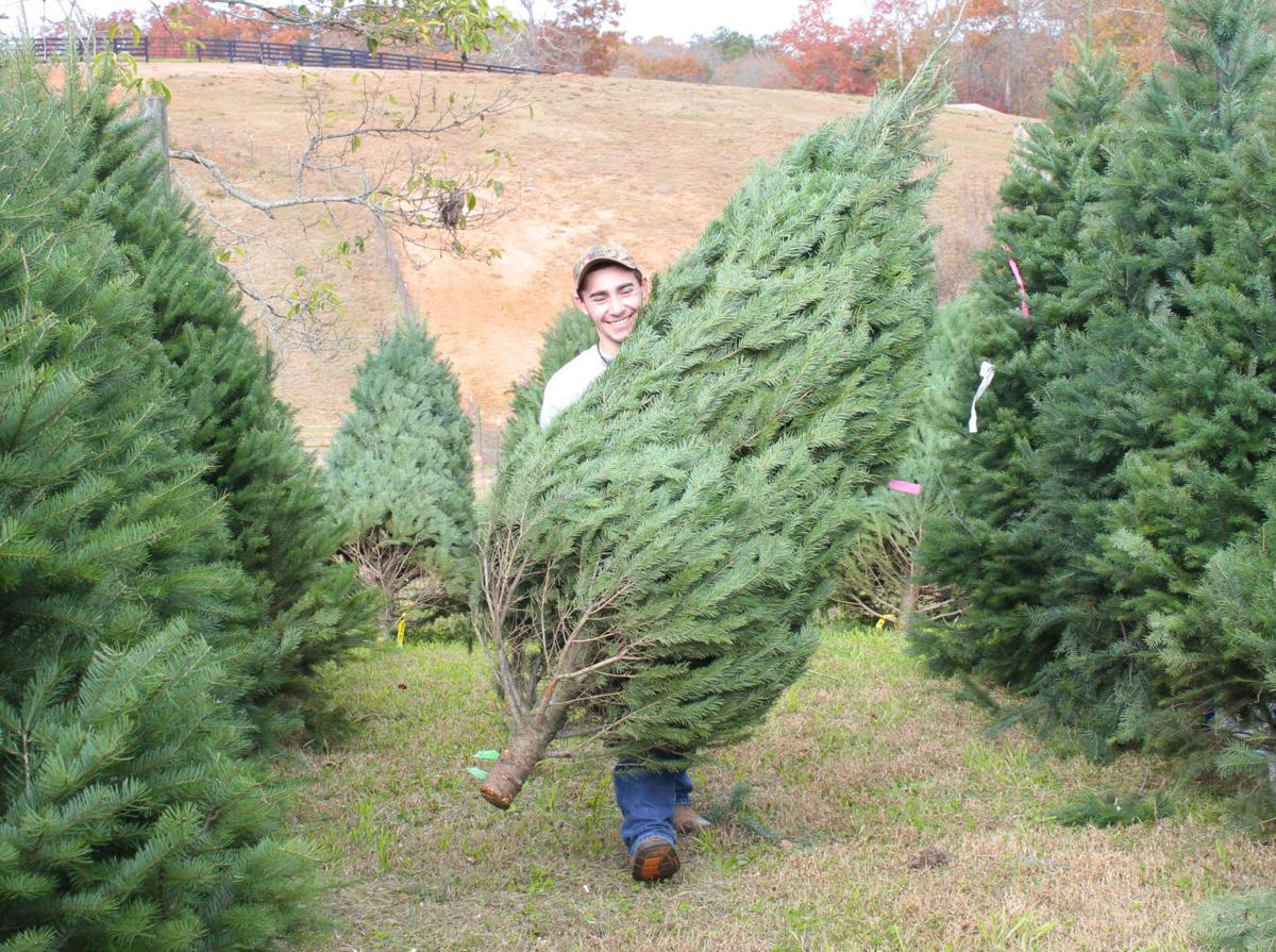 justin stewart 15 with deerwoods christmas tree farm in ball ground readies christmas trees for an expected busy weekend