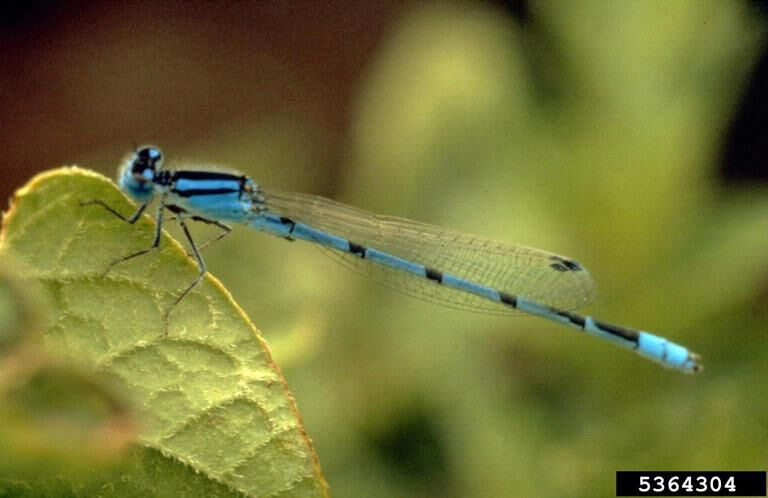 071620_CTN_Blue Damselfly.jpg