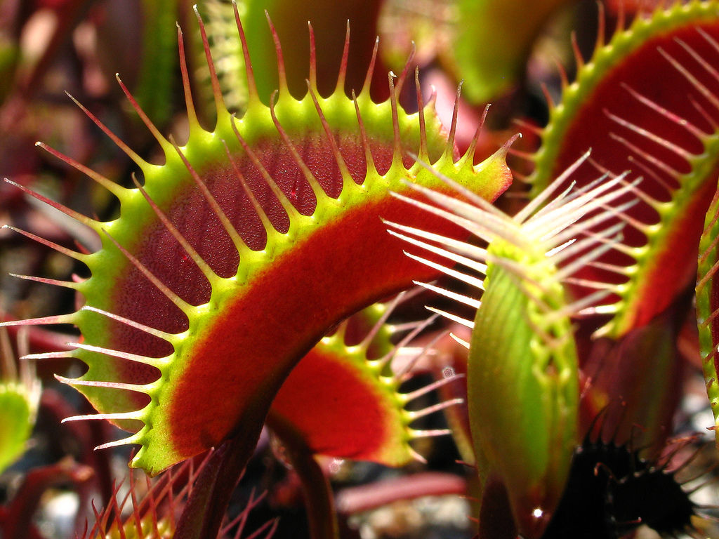 Venus flytraps and sundews