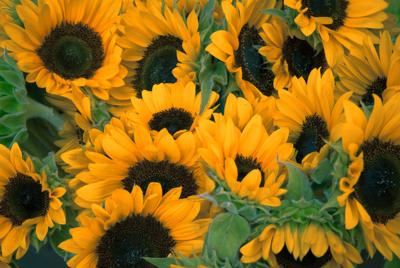 070121_CTN_Sunflowers.jpg