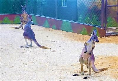 Kangaroos arrive at the Emperor Valley Zoo