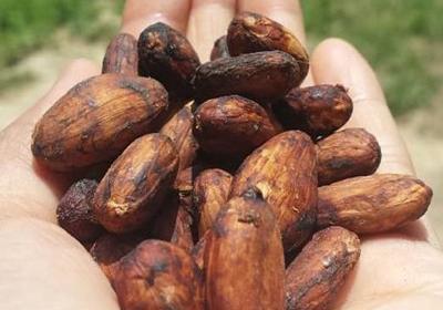 Brasso Seco Chocolate Company