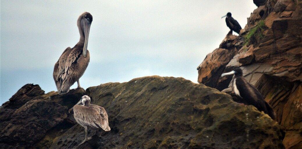 A pelican rests.jpg