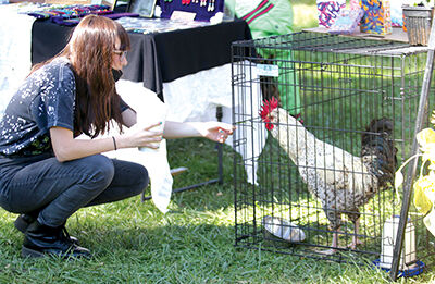 Amanda Matthew's Rooster