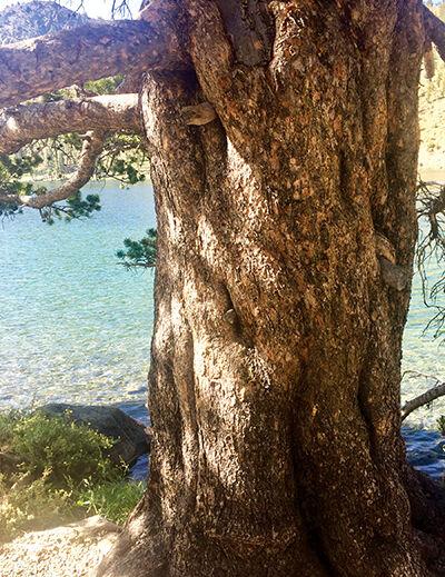 Pine Trees at Deadfall Lake