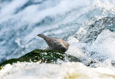 The Water Ouzel