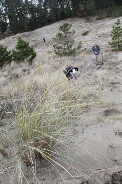 Dune restoration