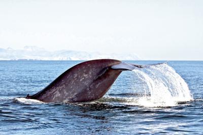 blue whale tail2.tif