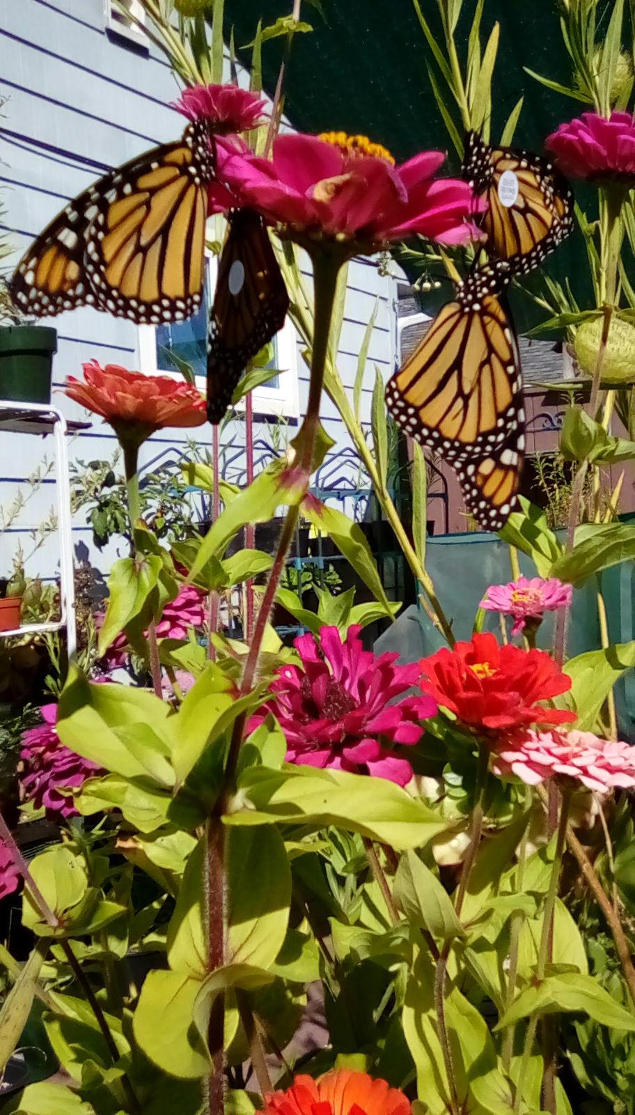 Nectaring Butterflies