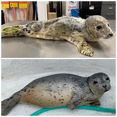 Northcoast Marine Mammal Center photos  Ozzy transforms from the skinniest harbor seal pup the Northcoast Marine Mammal Center ever rescued May 21 (above) to a healthier 25 pounds (below) last week.