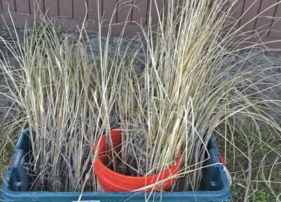 Two invasive grasses