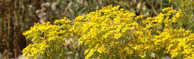 Tansy Ragwort Weed
