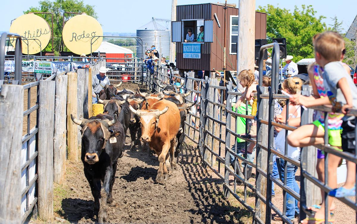 Steers in the alley