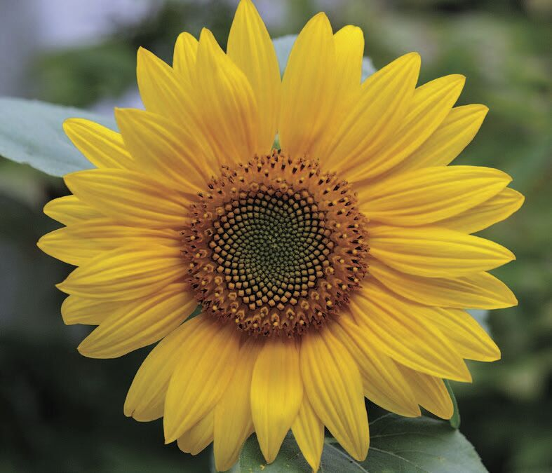gardem sunflower