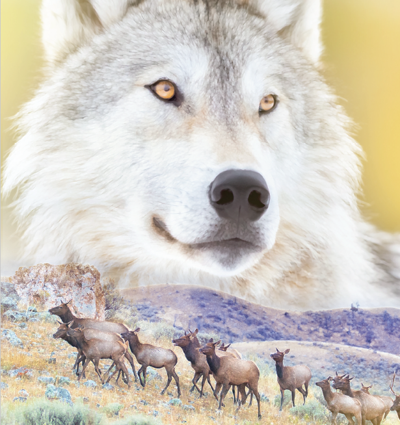 Gray wolf and deer