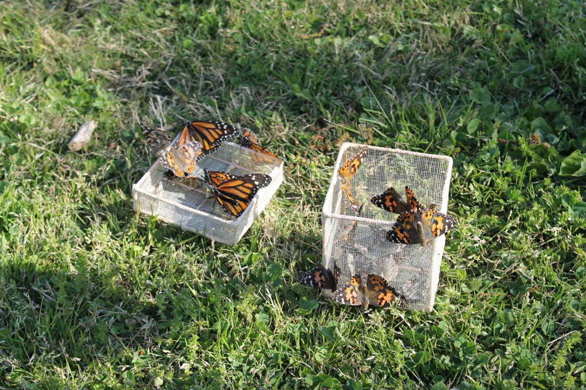 Butterflies in box